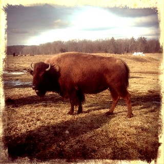 bison in hadley