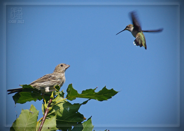 Finch Threatened