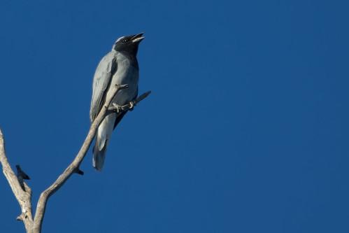 Black-faced Cuckoo-shrike 2012-12-18 (_MG_8249)