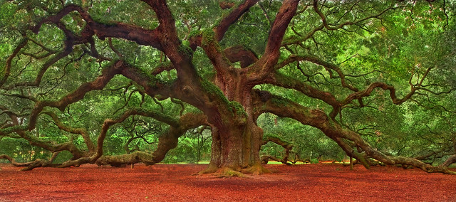 Fall Foliage Desktop Wallpaper Angel Oak Tree The Angel Oak Is A Southern Live Oak Tree