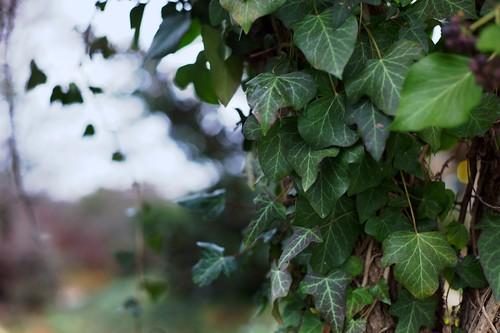 Ivy Aside