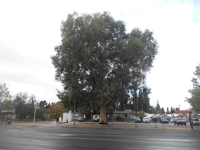 Eucalipto avenida Conde Vallellano.