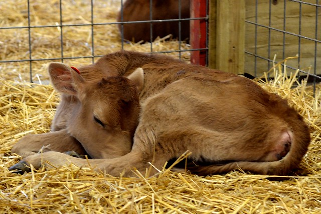 Dozing Cow