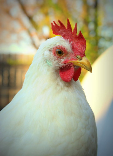 20121118. Quality time with the chickens - Boo and her suddenly impressive comb.