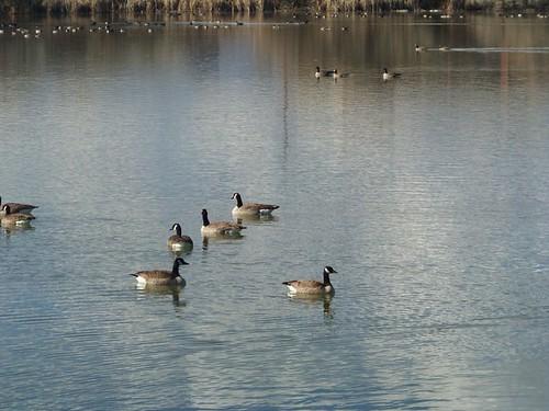 goose 034
