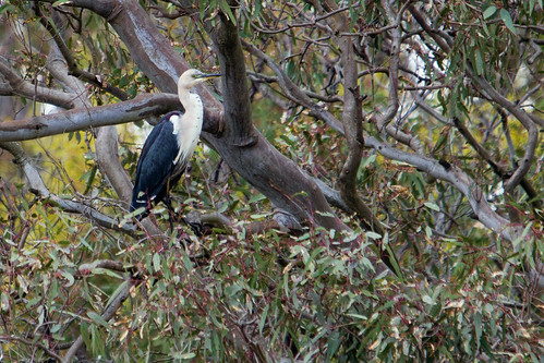 White-necked Heron 2012-12-06 (_MG_7792)