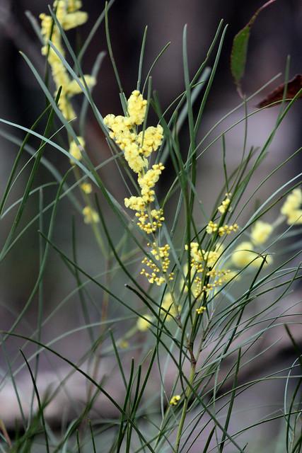 Acacia mucronata subsp longifolia Narrowleaf Wattle