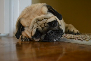 Photo:sad pug By:hannahkrajewski