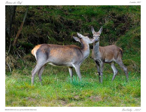 Le brame du Cerf - Cantal