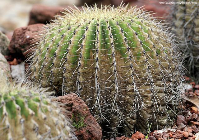Round shaped Barrel Cactus Singapore Botanic