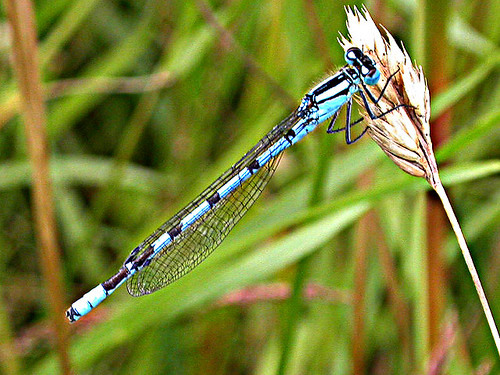 Common Blue Damselfly Enallagma cyathigerum Tophill Low NR, East Yorkshire