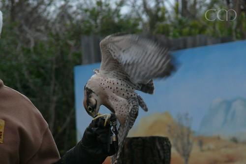 Beautiful Lanner Falcon (Lannerfalke)