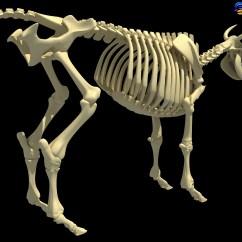 Cow Skeleton Bones Diagram Fasco Motor Wiring Back To Photostream