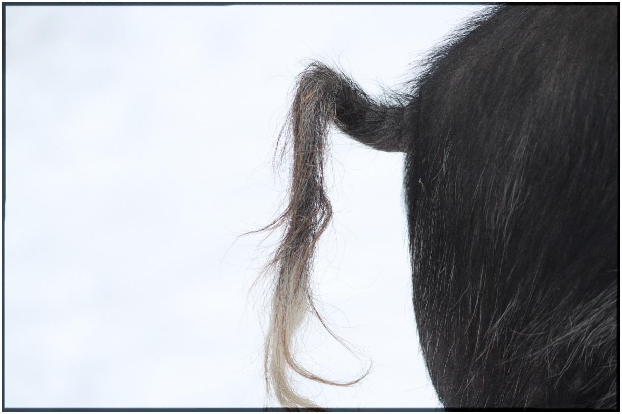Rear Pig Tail