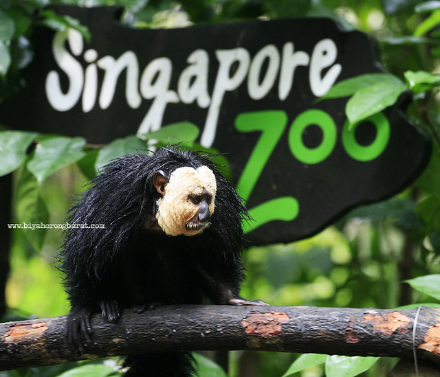 Saki Monkey in Singapore Zoo
