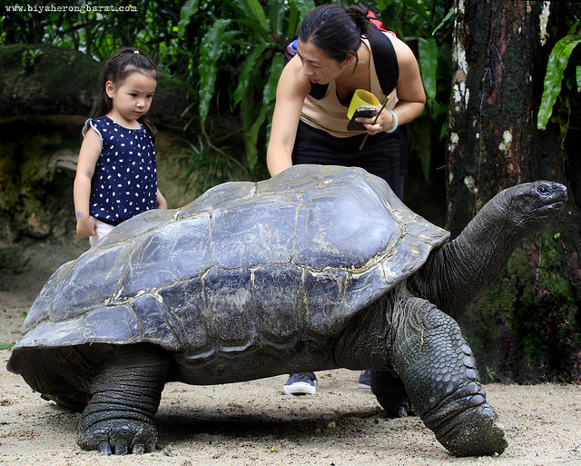 Giant tortoise in Singapore Zoo