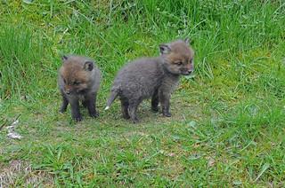 Rotfüchse im Skandinavisk Dyrepark in Kolind