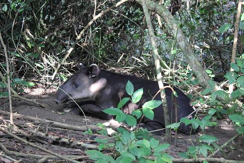 Tapir retozando.
