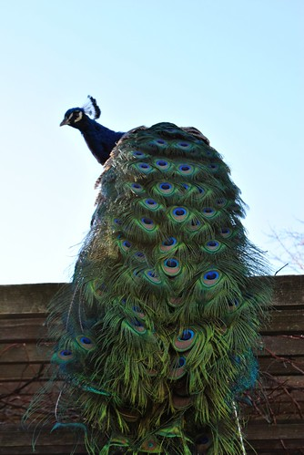 Peacock...up top!
