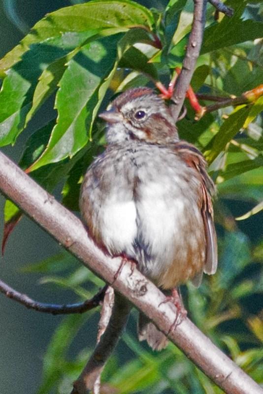 _DSC3564 Swamp Sparrow