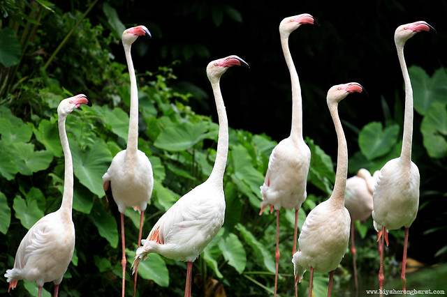 Greater Flamingos in Singapore Zoo