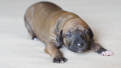 Azawakh Puppy Afouda @ 1 Week