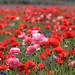 Маки, цветы, полевые, красные, алые, розовые, яркие
