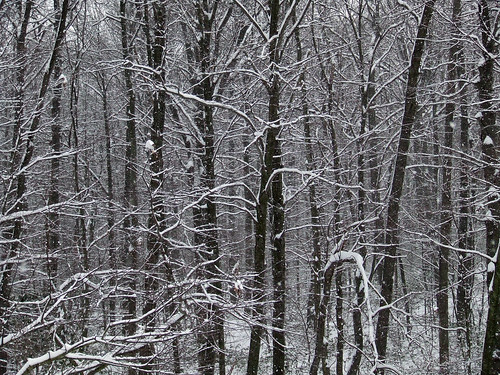 woods' edge in snow
