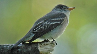 Eastern Wood-Pewee singing by Andy Reago & Chrissy McClarren