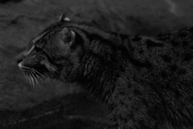 (Grand)Mother Fishing Cat