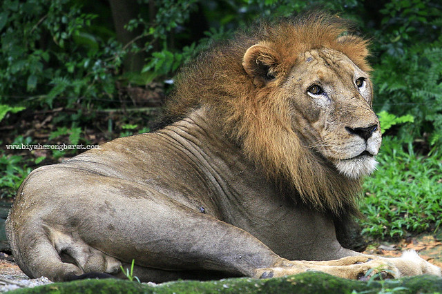 Lion in Singapore Zoo