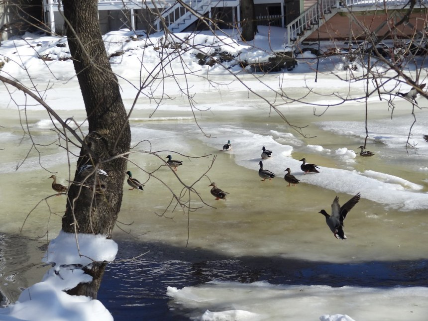 Ducks in the Ipswich River