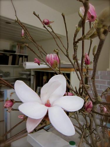 3.13.13 Tulip magnolias