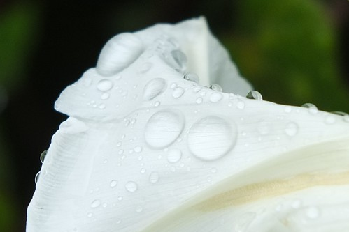 Water droplets on bindweed flowers.jpg by Patricia Manhire
