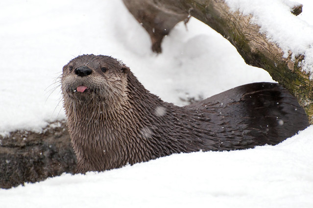 Otter with its pink tongue out in the snow, looking as though it's catching snowflakes