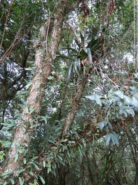 Campylocentrum aromaticum\