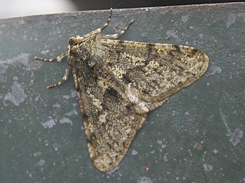 Pale Brindled Beauty Apocheima pilosaria Tophill Low NR, East Yorkshire Jan 2013