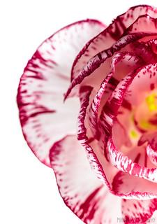Pink Carnation // 06 02 13