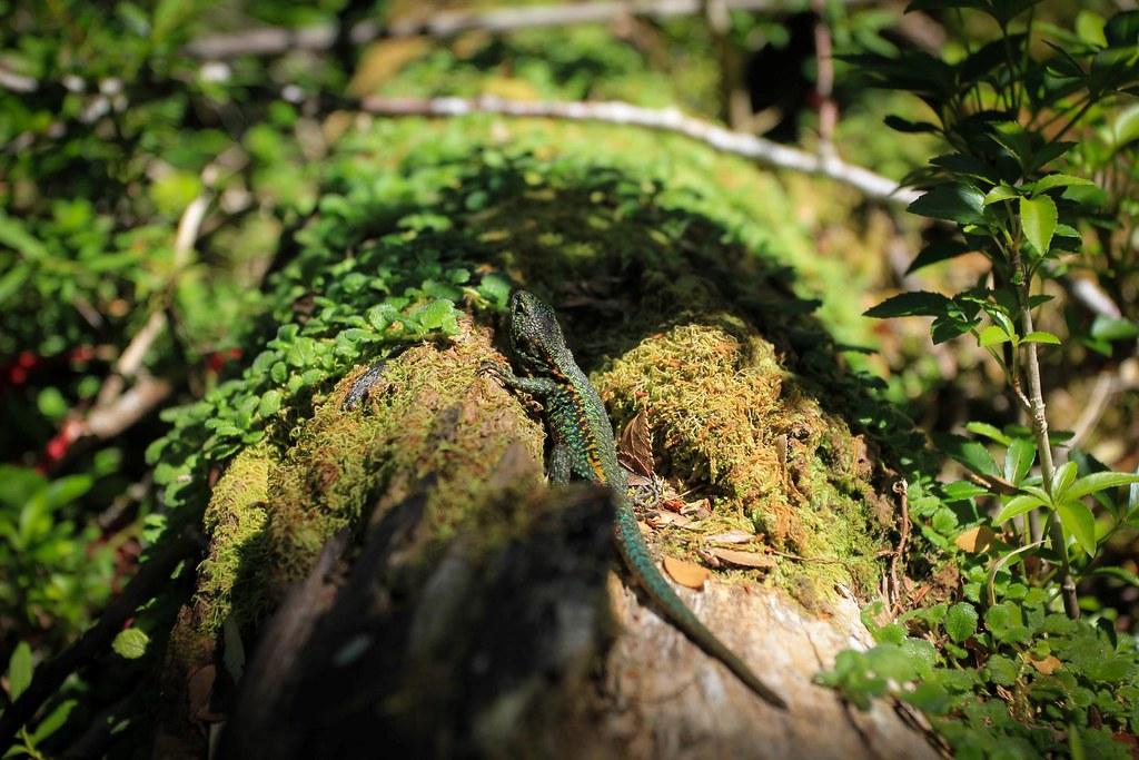 Liolaemus lizard in the Valdivian Rain Forrest, Parque Nacional Nahuel Huapi, Patagonia, Argentina