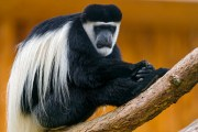 long hair colobus