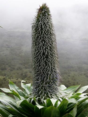 Inflorescencia de Lobelia rhynchopetalum