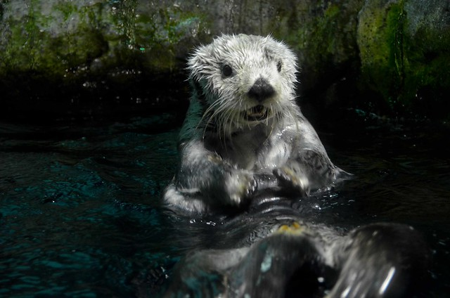 fluffy wee sea otter upright and half out of the water. Its mouth is a little open as if smiling.