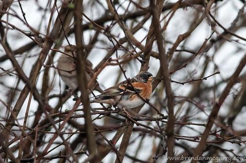 The Brambling, just being a regular bird in a bush.