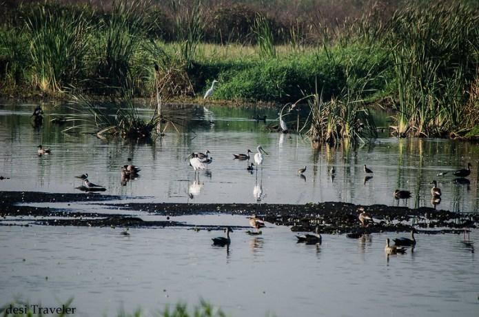 migratory birds in a swamp in ICRISAT in Hyderabad