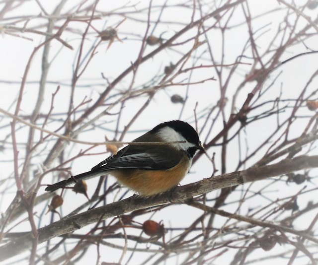 bird chickadee in nature