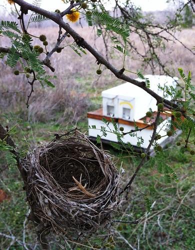 Bird Nest in Huisache