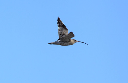 Flight of the Curlew by riggy-riggo