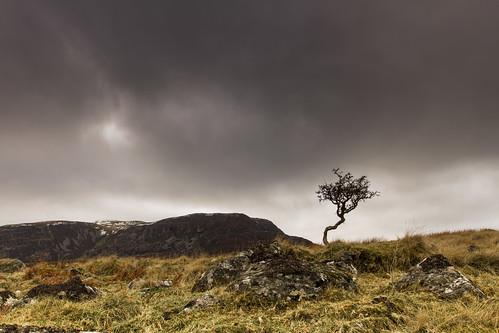 Hawthorn - Arenigs