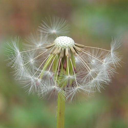 Dandelion seedhead_0003.jpg by Patricia Manhire