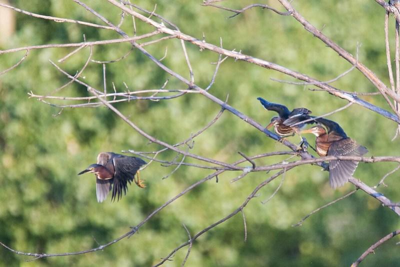 _DSC3030 Green Heron